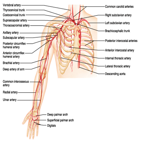 upper extremity anatomy   arteries veins muscles   am