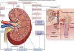 Anatomy Blood Supply to the Kidneys-Diagrams