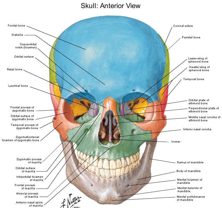 Human Anatomy Diagram Of Skull With Radiographic Land Marks Am