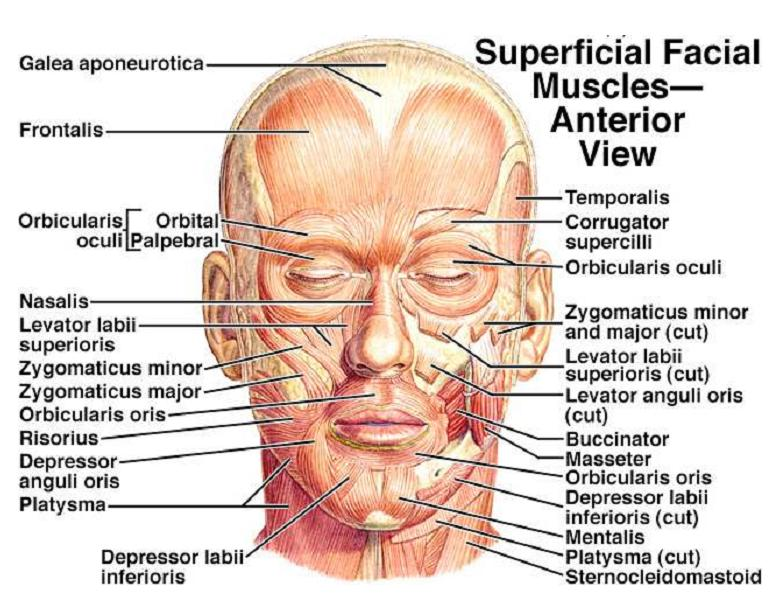 Muscles Of The Head And Neck Am Medicine