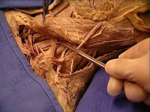 first year – anatomy – Posterolateral Triangle of the Neck