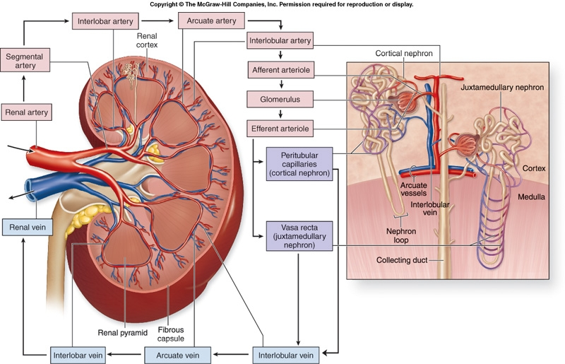 Anatomy Blood Supply To The Kidneys-diagrams Pdf