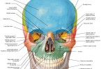 Human Anatomy Diagram Of Skull With Radiographic Land Marks