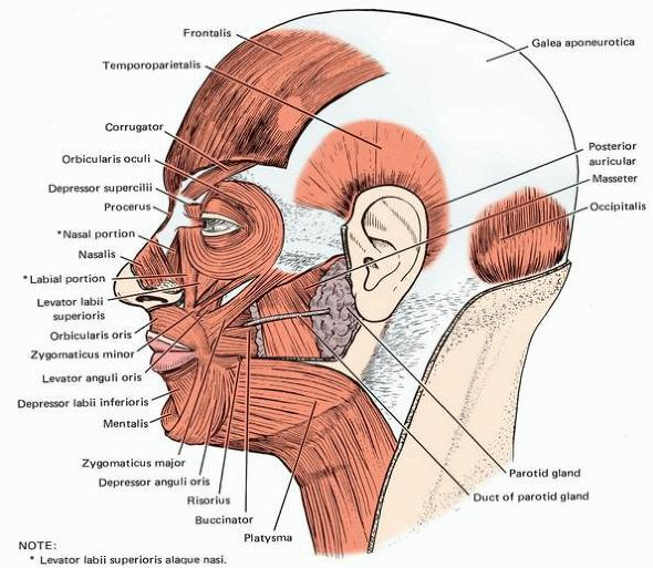 Muscles of the Face and Scalp