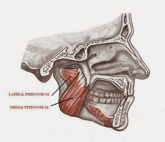 Anatomy Elevator mandible muscles and auxiliary functions