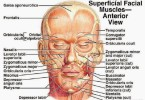 Muscles of the face – superficial facial muscles – human anatomy diagram